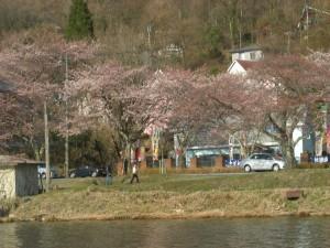 琵琶湖沿いの桜が美しい