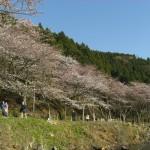 桜が美しい 田舎の雰囲気