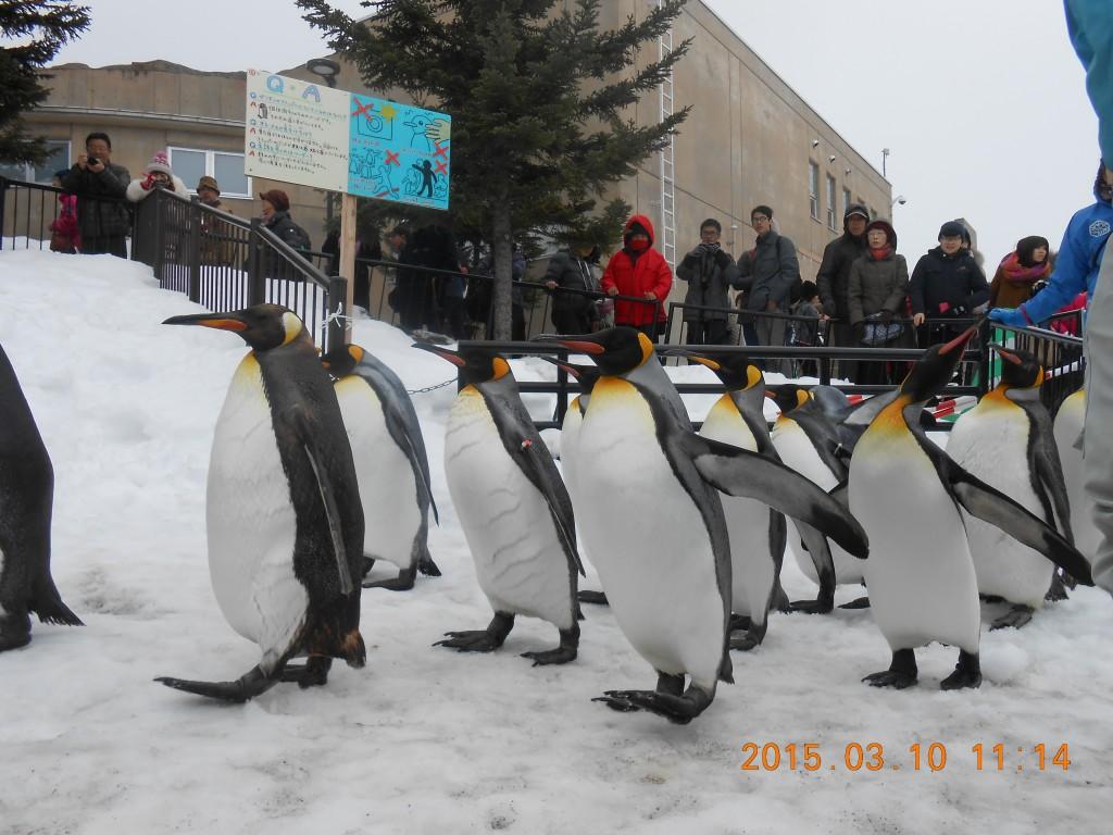 旭山動物園のペンギン達の散歩